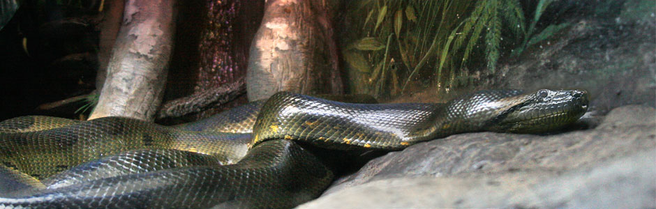$75 will feed one of our anacondas for three weeks.