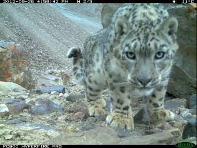 Snow Leopard Project